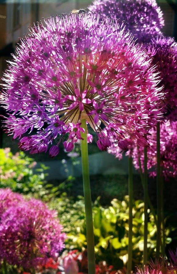 Closeup allium globemaster garden flower on long stem. Sunlit allium purple and pink garden flower on long stem royalty free stock photography