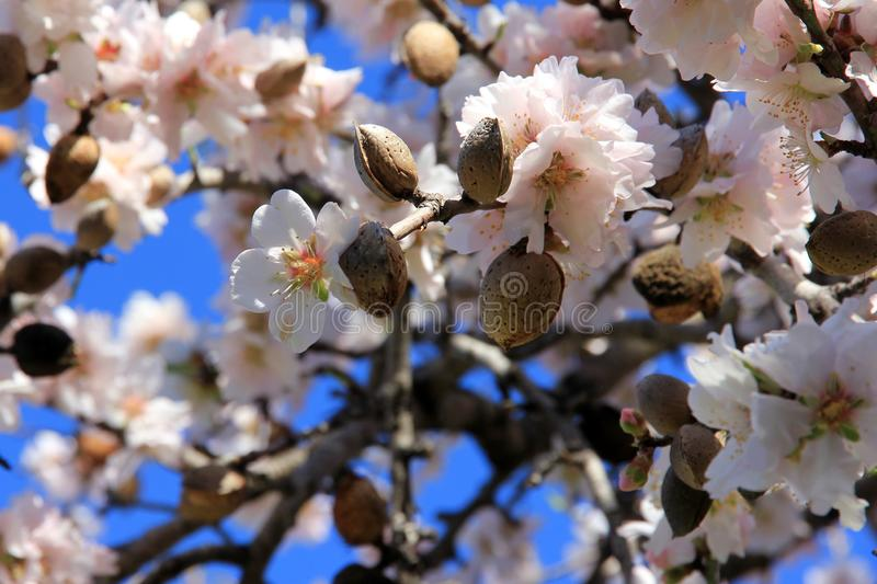 Closeup of almond blossoms and almonds of the previous year with blue sky as a background. Mallorca in February 2019. Closeup of almond blossoms and almonds of stock photos