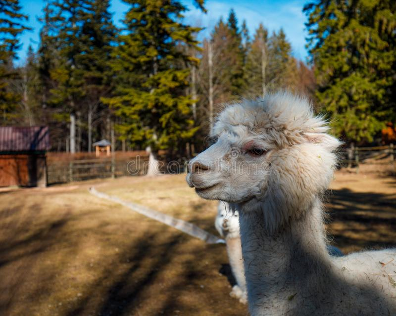Closeup of an Alpaca Portrait in the zoo. In spring royalty free stock photography