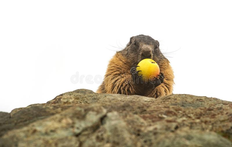 Closeup of an alpine marmot on a white background eating a yellow apple royalty free stock photography