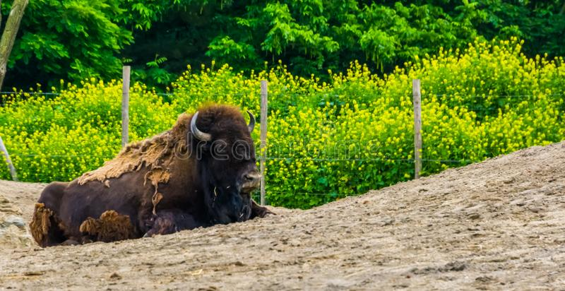 Closeup of a american buffalo sitting on the ground, near threatened bison specie from north america royalty free stock photography