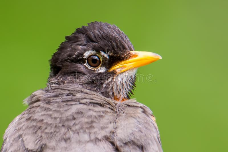 Closeup American robin portrait with smooth green background - great detail of head - taken at the Wood Lake Nature Center in Minn stock photography