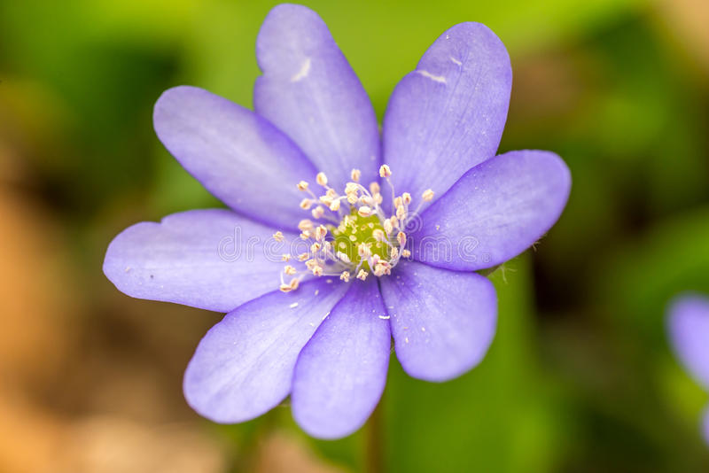 Closeup of Anemone hepatica Hepatica nobilis in forest with green leaves on background royalty free stock photos