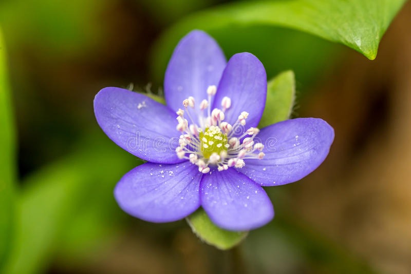 Closeup of Anemone hepatica Hepatica nobilis in forest with green leaves on background stock photo