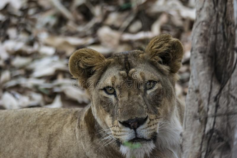 Closeup of a Angry Lioness  - Intense Eyes stock image