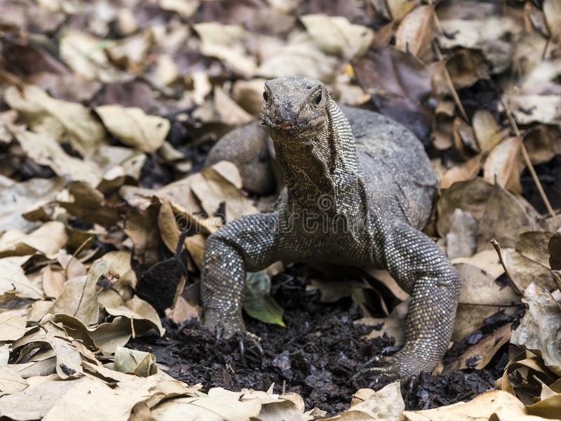 Closeup of angry-looking Komodo dragon rooting in dirt and dry leaves. Singapore Botanic Gardens royalty free stock photo