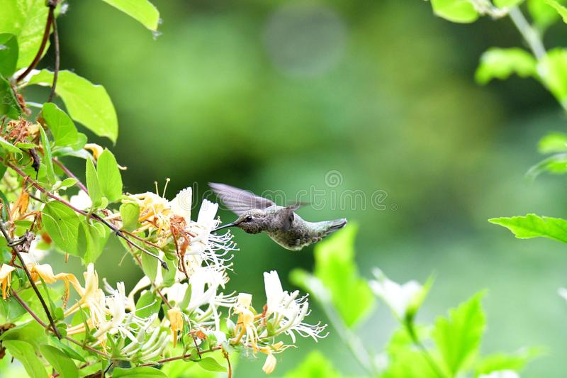A closeup of Anna`s hummingbird hovering near some flowers.  royalty free stock photography