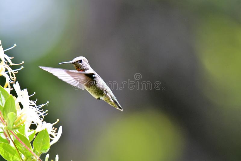 A closeup of Anna`s hummingbird hovering near some flowers.  royalty free stock image