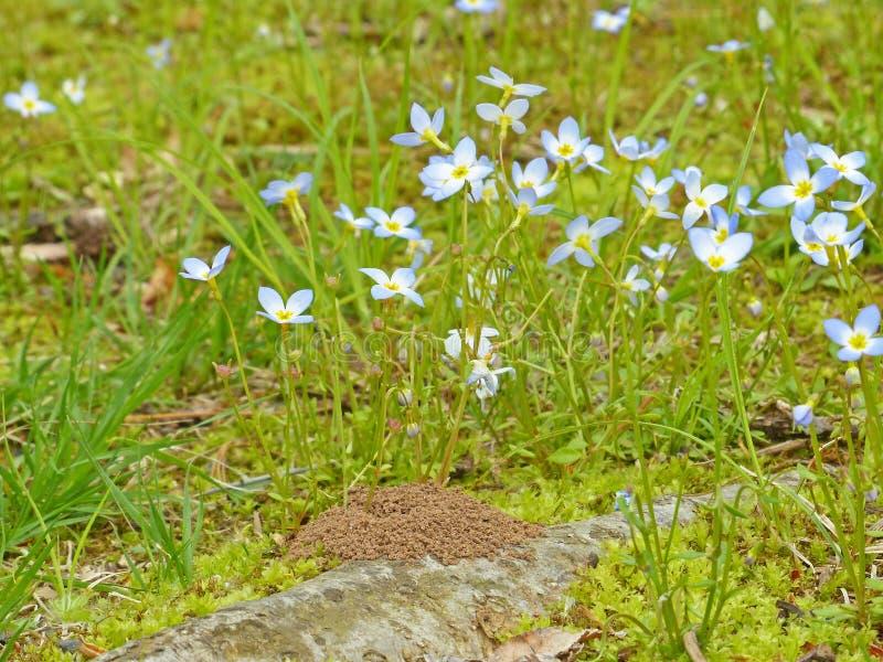 Ant Mound Among Flowers royalty free stock image