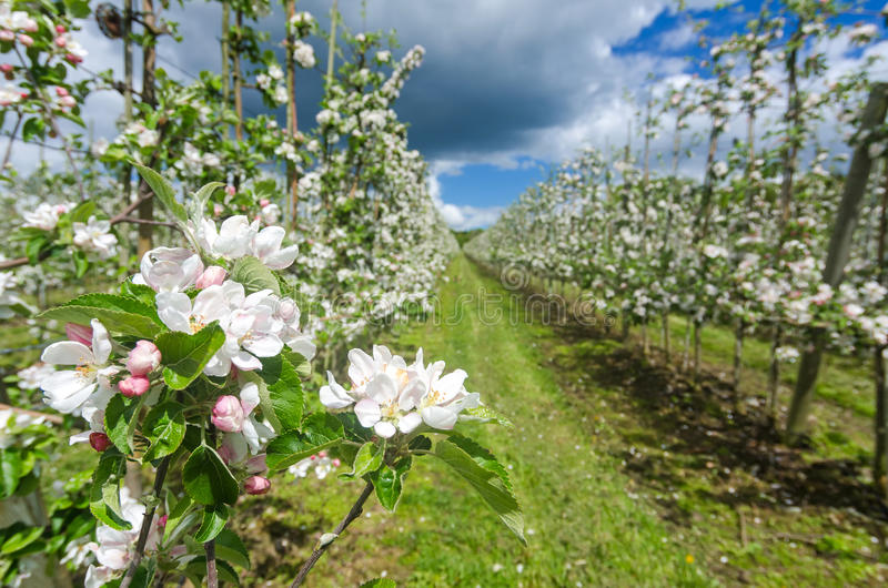 Closeup for apple bloom in Swedish plantation royalty free stock images