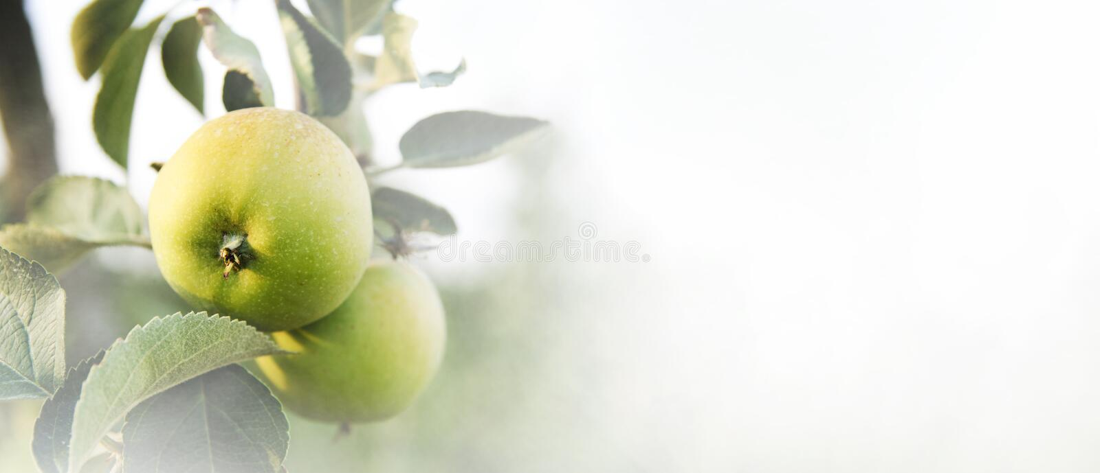 Closeup of apple tree with growing fresh green organic fruits on. Branches. Fruit orchard farm background design stock photo