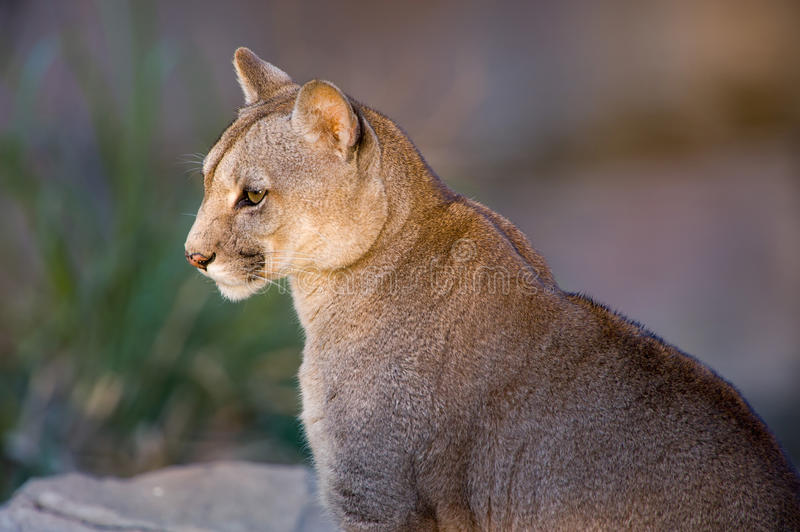 Closeup of a Puma or Cougar in Patagonia royalty free stock photo