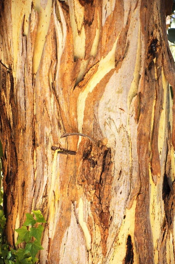 Closeup of Australian native eucalyptus gum tree bark. Close-up of Australian native eucalyptus gum tree bark royalty free stock photography