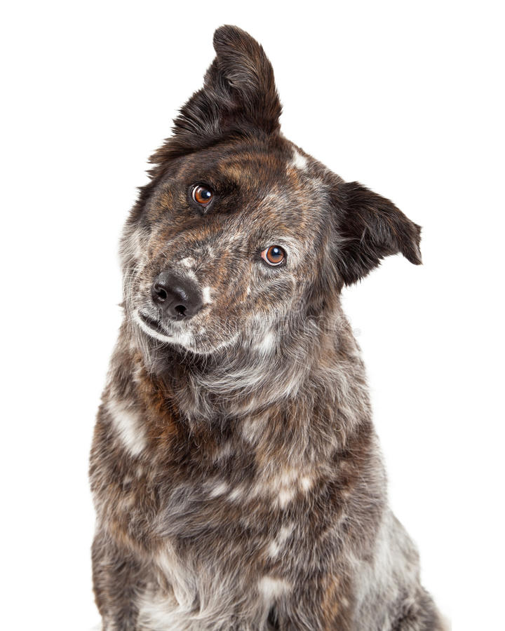 Closeup of Australian Shepherd Mix Breed Dog. A very curious Australian Shepherd Mix Breed Dog tilts head while looking into the camera stock photo