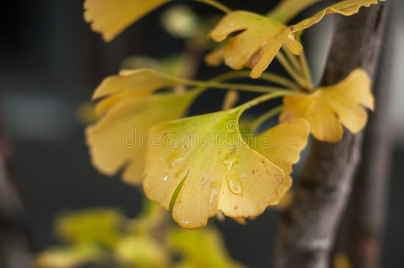 Automnal Ginkgo biloba leaves in urban park. Closeup of automnal Ginkgo biloba leaves in urban park stock photo