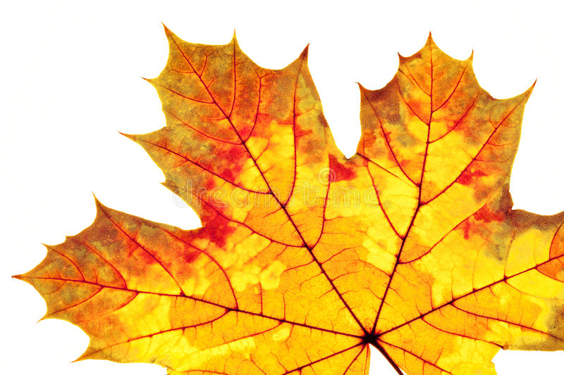 Closeup of Autumn Leaf. Isolated on White stock photography