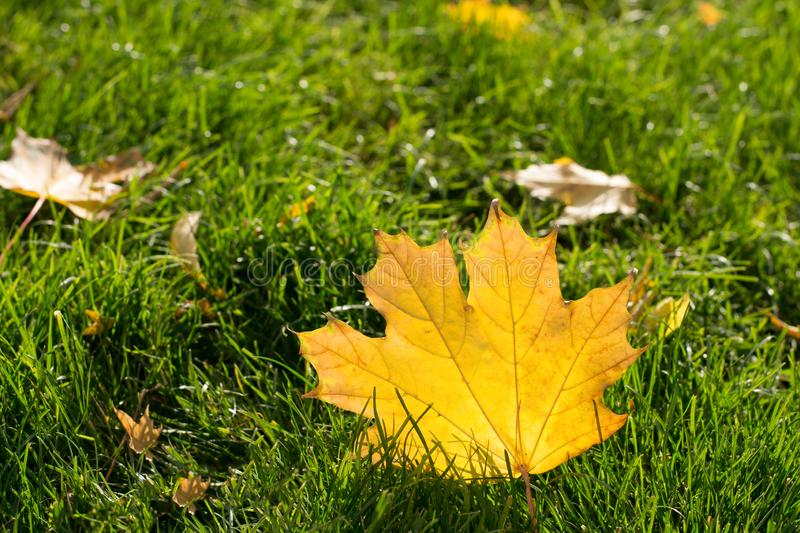 Closeup of an autumn maple leaf in green grass stock photo
