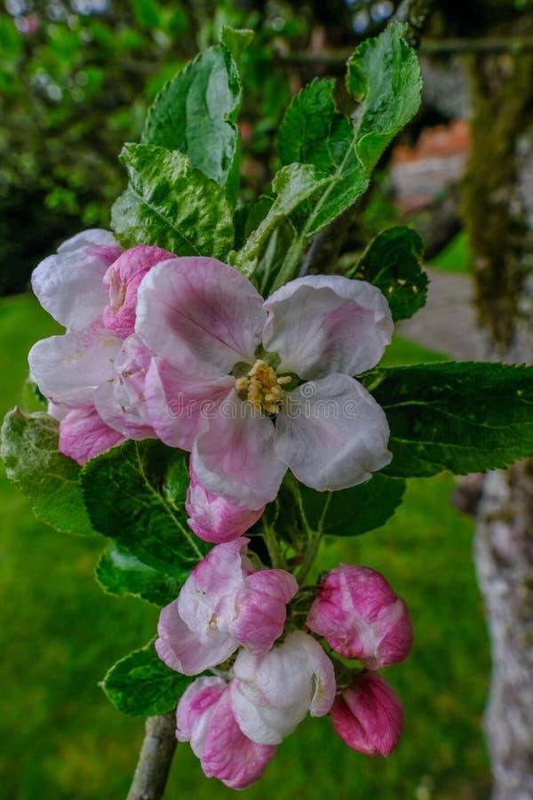 Closeup av äppleblomningöppningen i vår royaltyfria bilder
