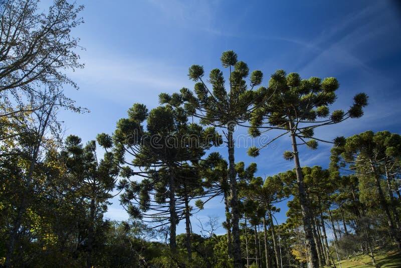 Closeup av övredelen av Araucariaangustifolia (brasilianen sörjer royaltyfria bilder