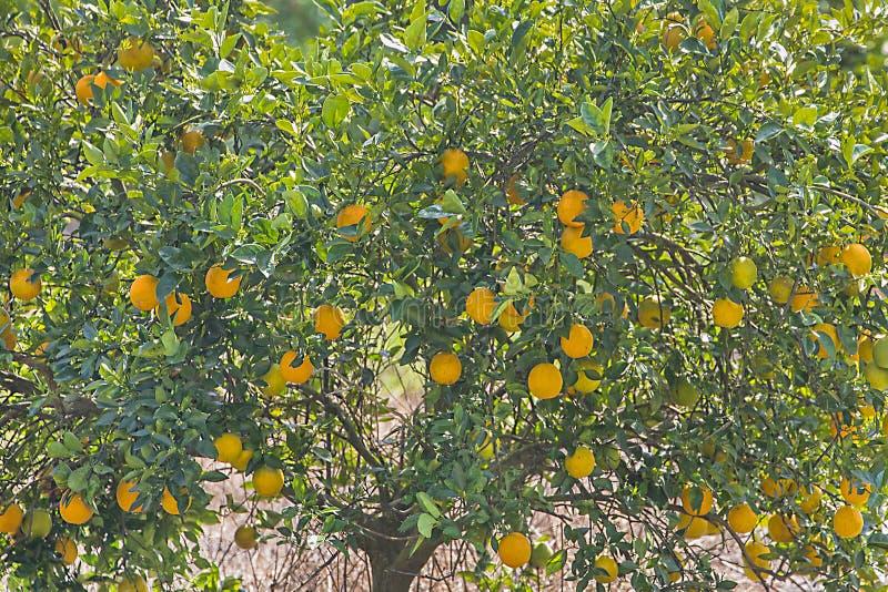 Closeup av apelsiner i ett orange träd royaltyfri fotografi