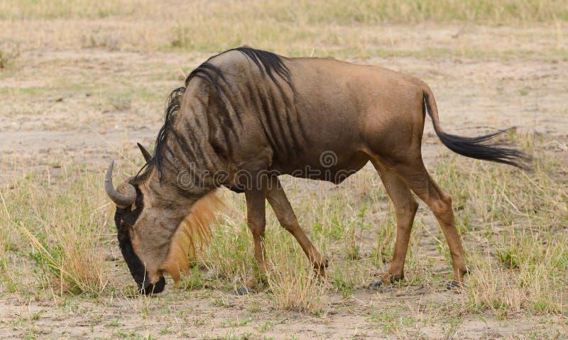 Closeup av att bläddra för gnu royaltyfri foto
