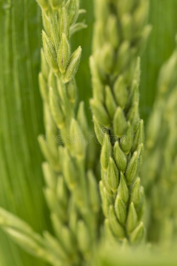 Closeup av att mogna havre Detalj av den nya havren Naturlig abstraktion av kornskördar konservera green fotografering för bildbyråer