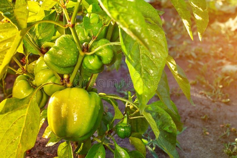 Closeup av att mogna peppar i hempepparkolonin Nya gröna söta spansk pepparväxter, Paprika Green, guling royaltyfri bild