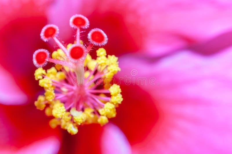 Closeup av bakgrund för suddighet för rosa fokus för blommanatur mjuk abstrakt royaltyfri bild