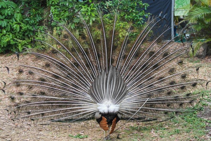 Closeup av baksida av en indisk blå peafowl med den öppna fjädern royaltyfri fotografi