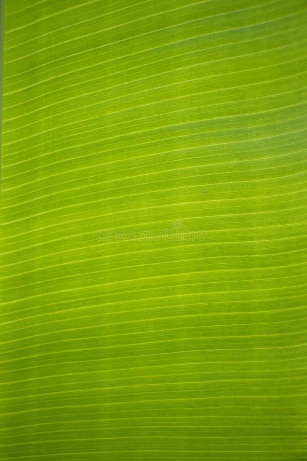 Closeup av bananbladtextur royaltyfri fotografi