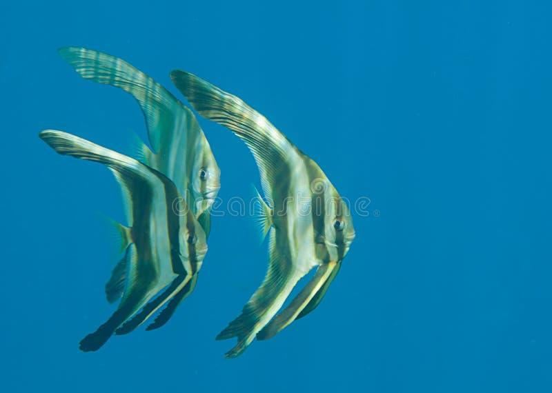 Closeup av batfishtonåringen för tre longfin royaltyfri fotografi