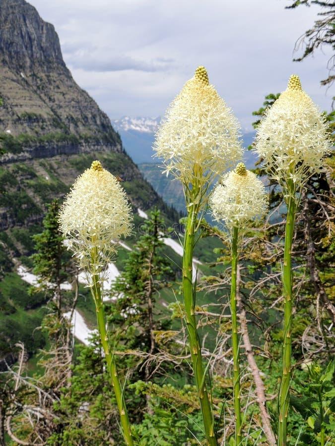 Closeup av Beargrass Xerophyllumtenax den vita blomman på den Highline slingan på Logan Pass på gå till solvägen i glaciären Nati royaltyfri foto