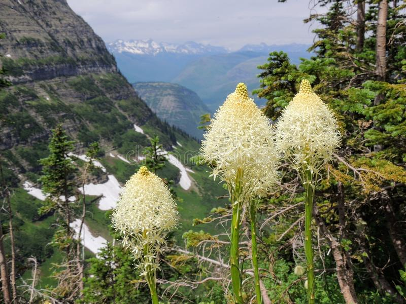 Closeup av Beargrass Xerophyllumtenax den vita blomman på den Highline slingan på Logan Pass på gå till solvägen i glaciären Nati royaltyfria bilder