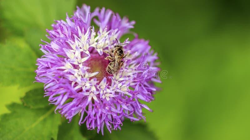 Closeup av biet på tistellilablomman arkivfoton