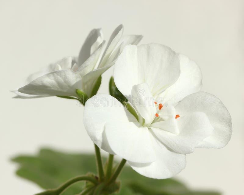 Closeup av blomman av den vita pelargonian zon- Hortorum arkivbilder