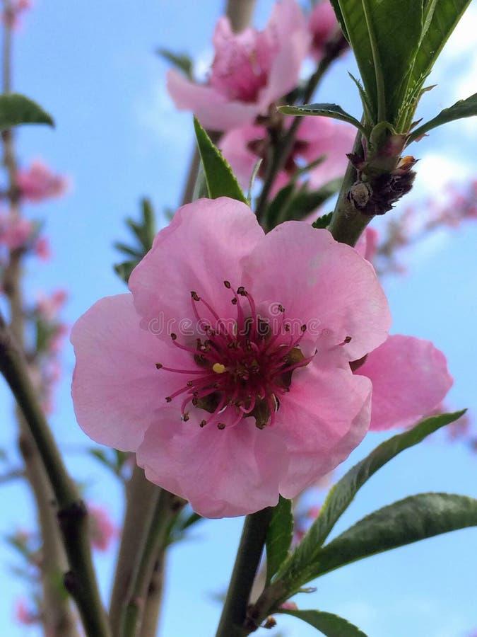 Closeup av blomman för persikaträd mot blå himmel arkivbild