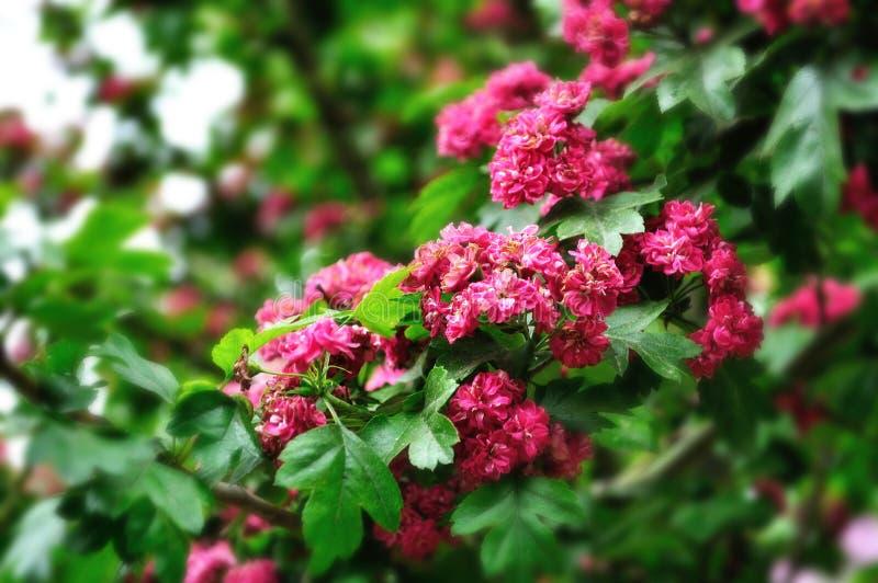 Closeup av blommor av det blommande hagtornträdet (mjukt bearbeta för fokus) royaltyfri foto