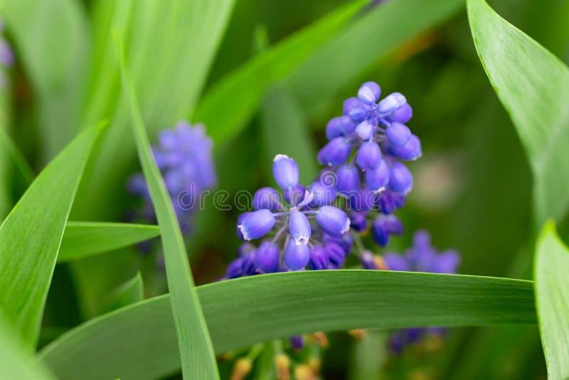 Closeup av blomningar av muscarien f?r druvahyacint i v?r royaltyfria bilder