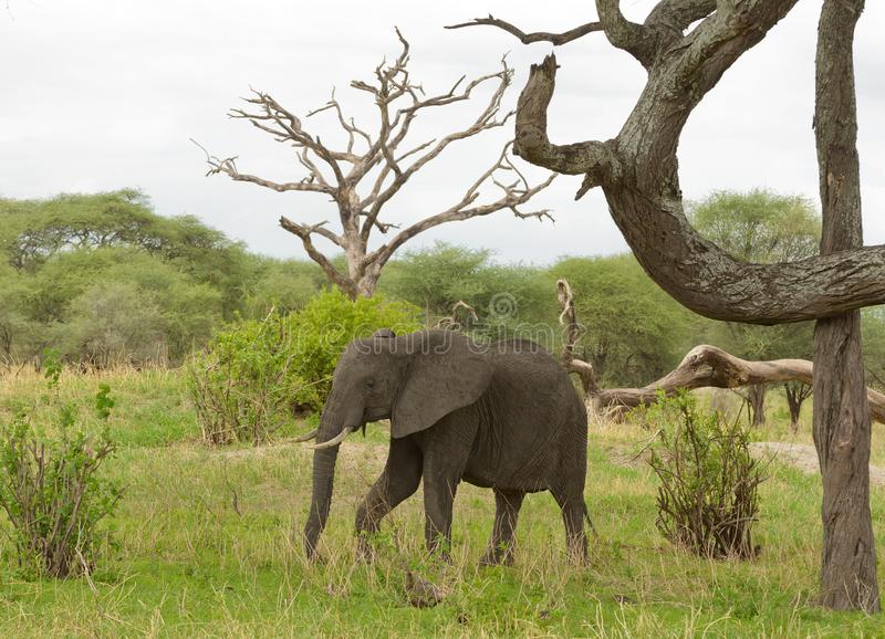 Closeup av den afrikanska elefanten arkivbild