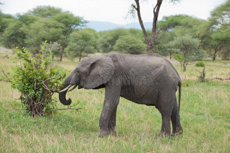 Closeup av den afrikanska elefanten royaltyfri fotografi