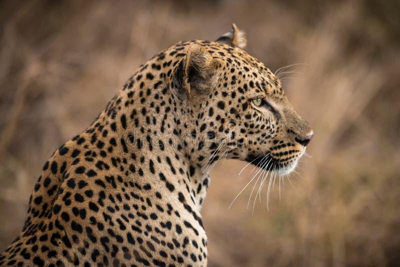 Closeup av den afrikanska leoparden royaltyfri fotografi