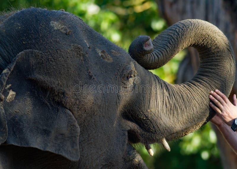 Closeup av den barnsliga elefanten med stammen som är berörd vid handen royaltyfri foto