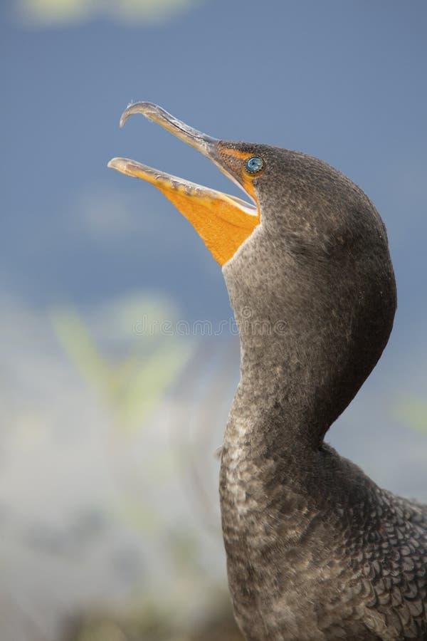 Closeup av den barnsliga kormoran med räkningsneda bollen som är öppen i Everglaen royaltyfria bilder