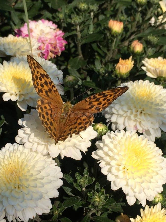 Closeup av den bruna fjärilen på vita blommor och grön lövverk arkivbild