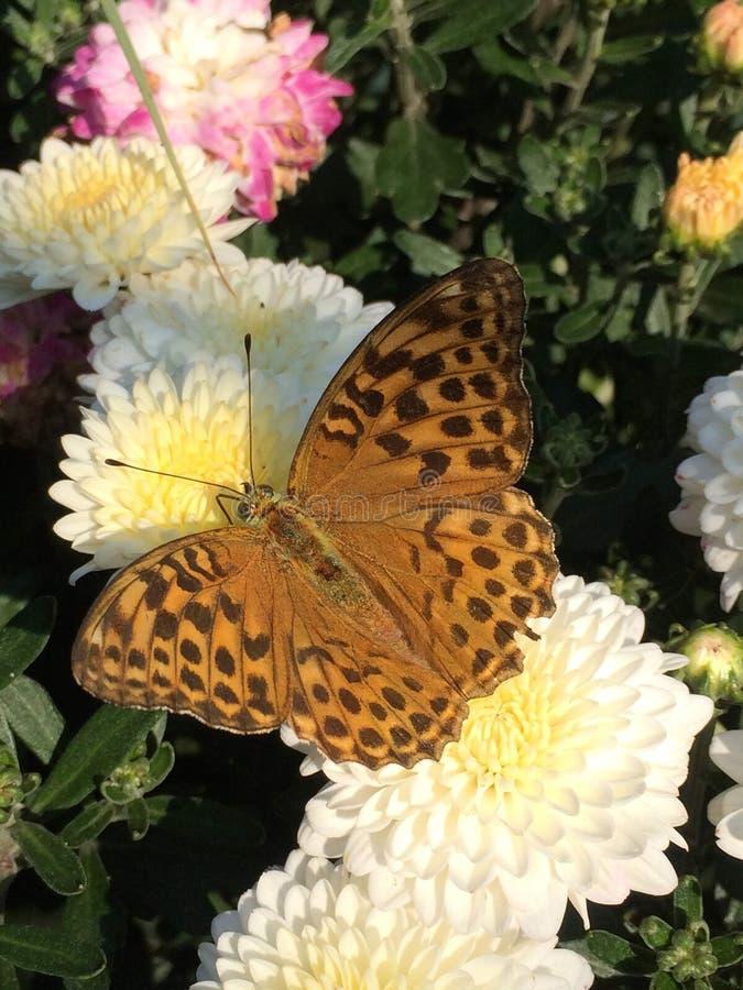 Closeup av den bruna fjärilen på vita blommor och grön lövverk royaltyfri foto