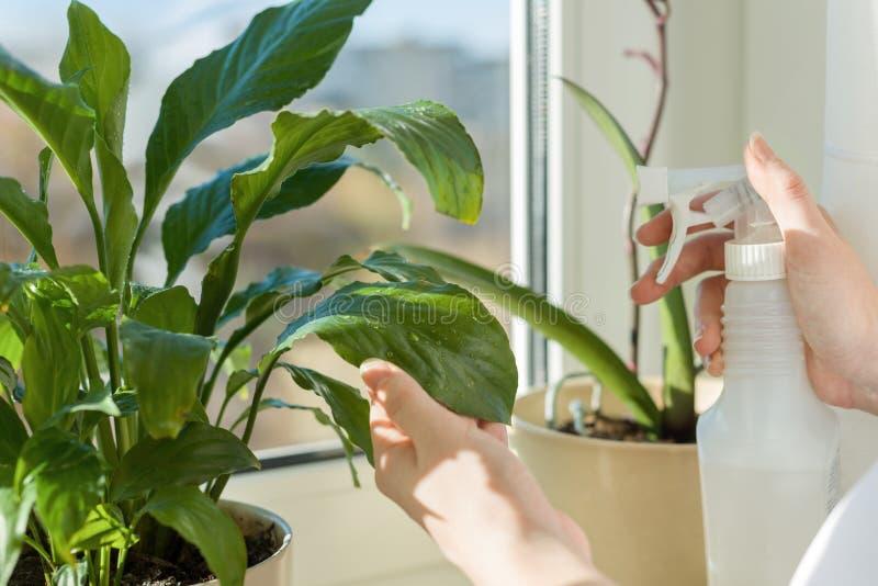 Closeup av den gröna växten i kruka på fönsterbrädan och handkvinnan med sprej som besprutar sidor med vatten fotografering för bildbyråer