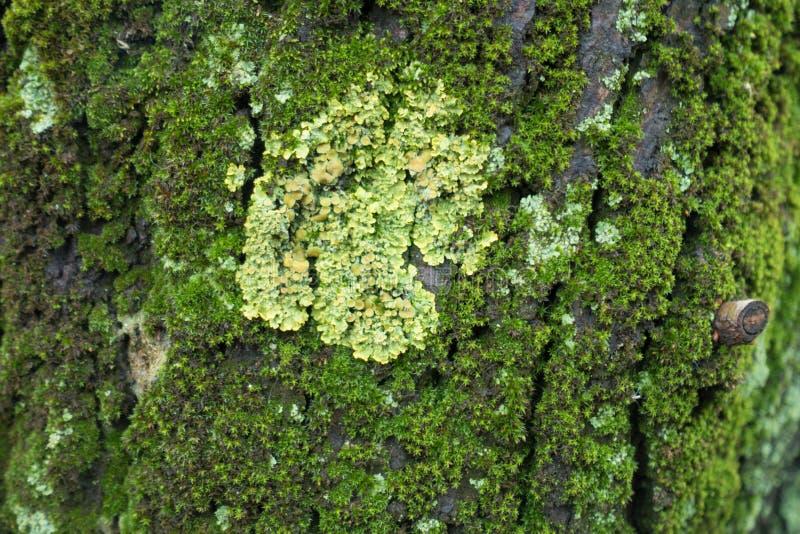 Closeup av den gula Xanthoria parietinalaven på trädskället som täckas med mossa royaltyfri bild