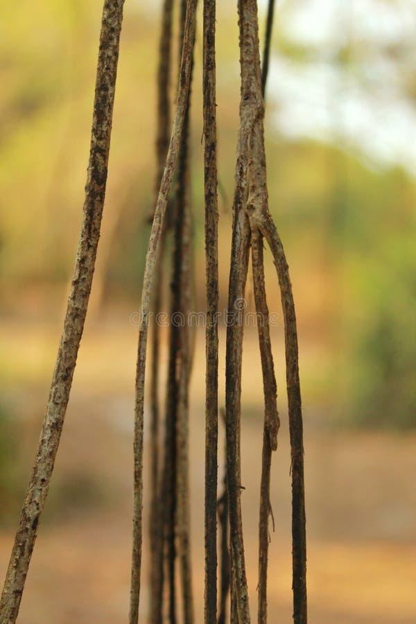 Closeup av den hängande vinrankan i skog royaltyfria bilder