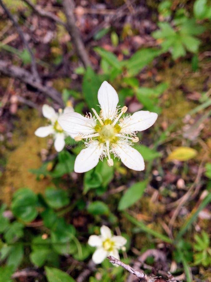 Closeup av den härliga vita blomman som är bekant som det satte fransar på gräset arkivfoto