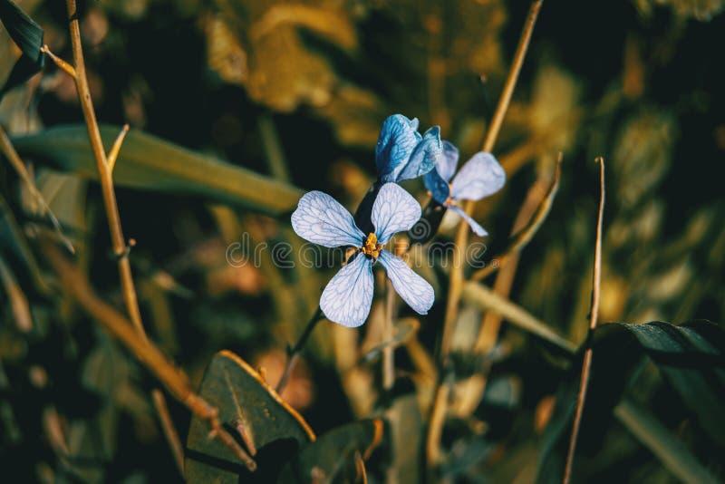 Closeup av den lila blomman för raphanus royaltyfri foto